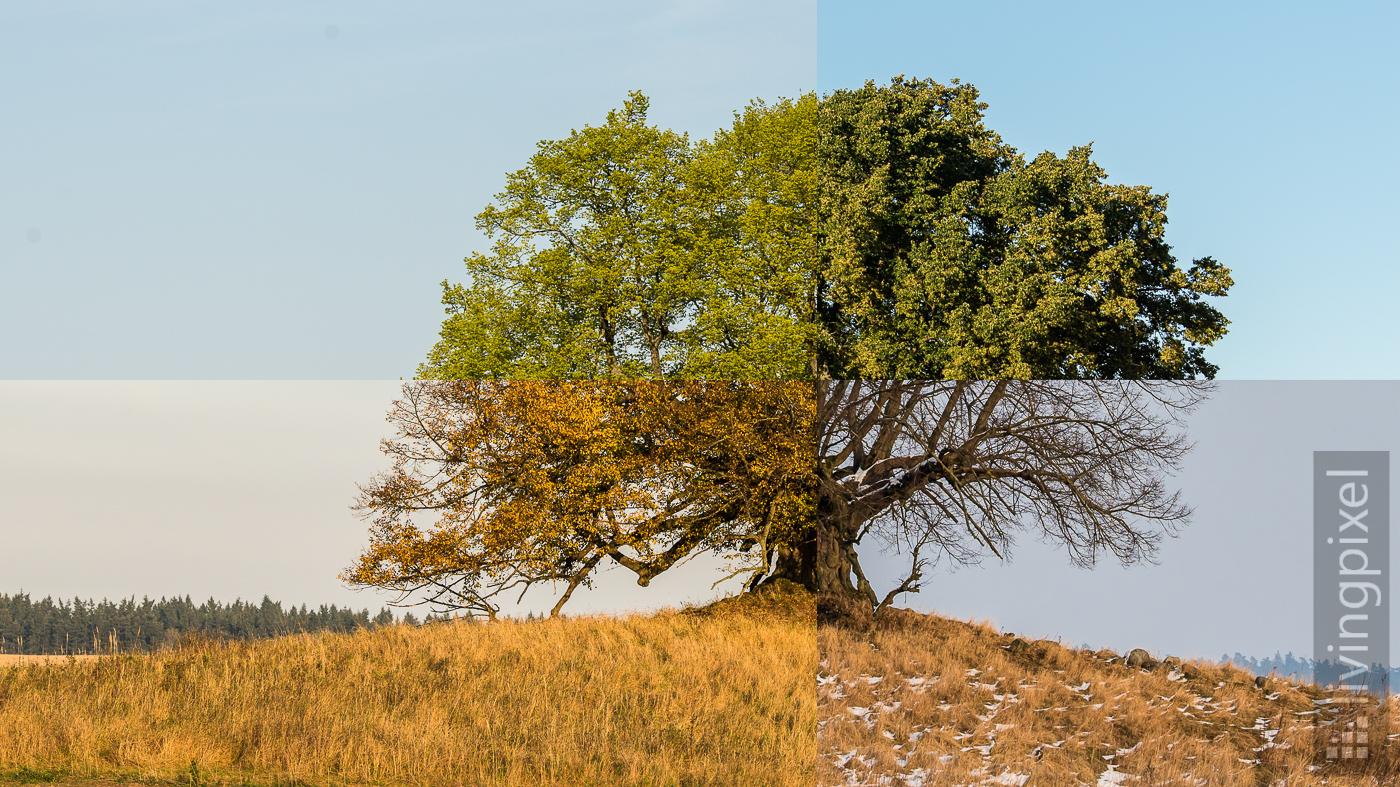 Baum in den vier Jahreszeiten