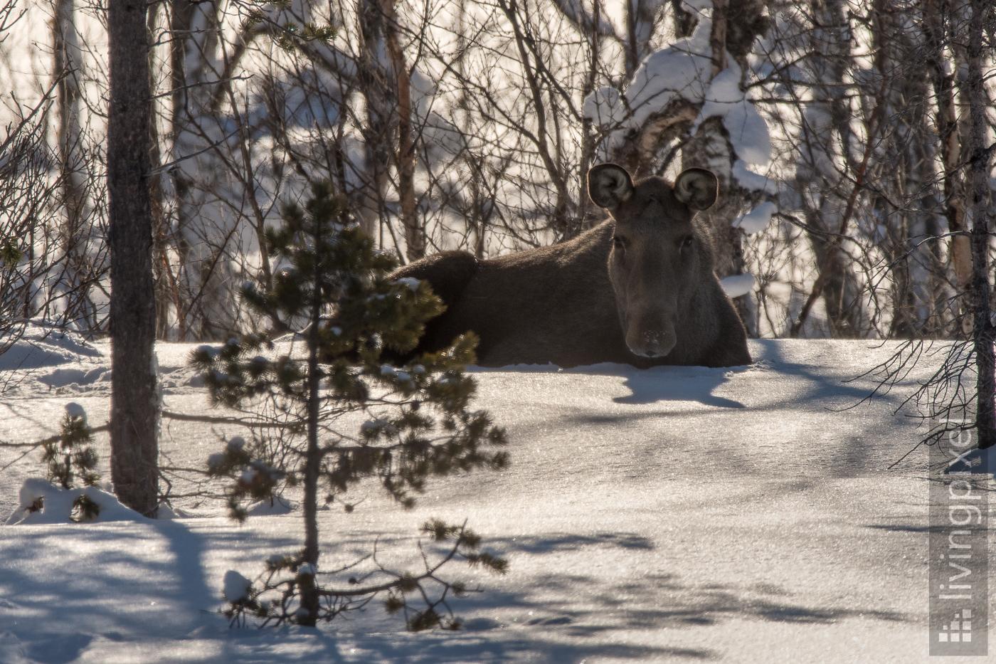Elch (Moose)