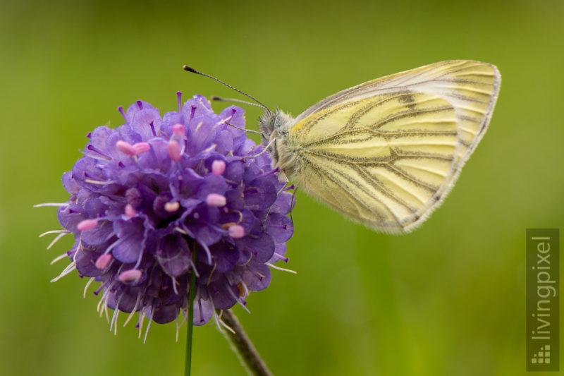 Kohlweißling (Large white cabbage butterfly)