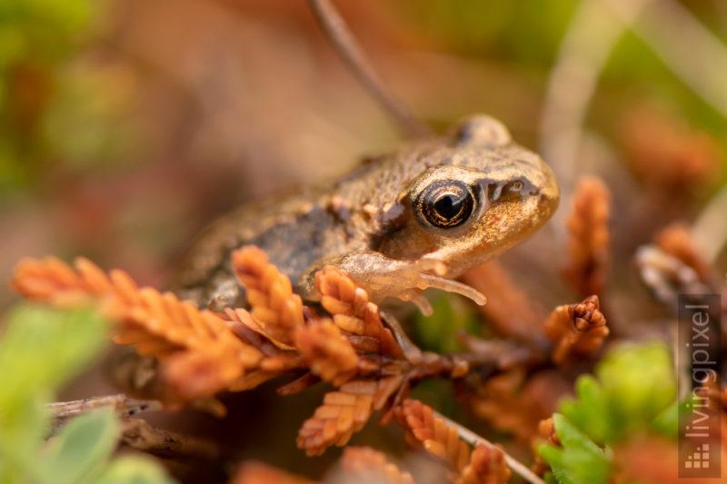 Frosch-Nachwuchs