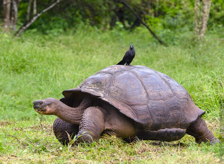 Riesenschildkröte mit Glattschnabelani