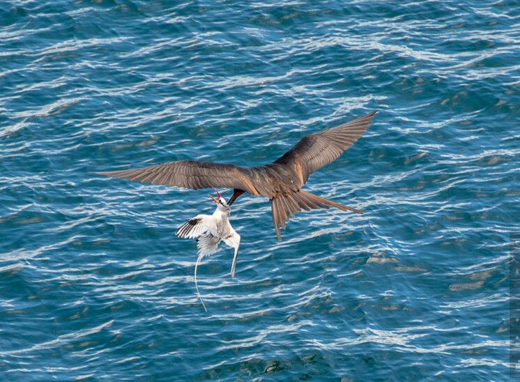 Fregattvogel jagd dem Tropikvogel die Beute ab
