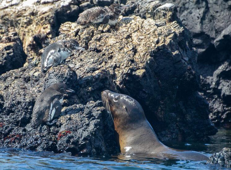 Seelöwe und Galapagos-Pinguine