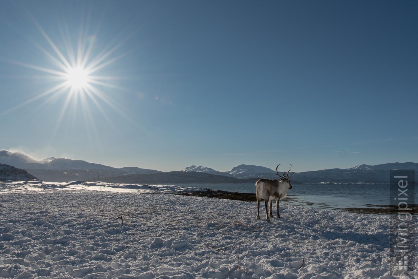 Rentier am Fjord