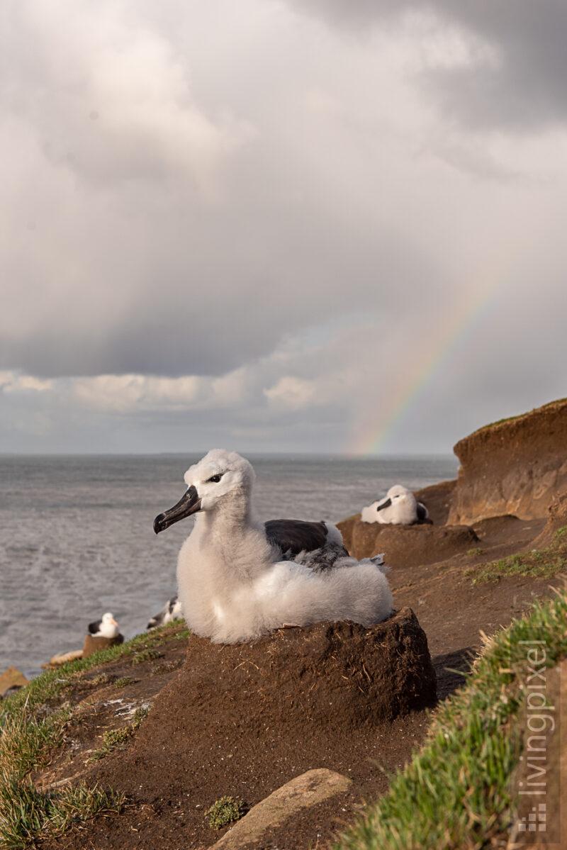 Schwarzbrauenalbatros (Black-browed albatross)