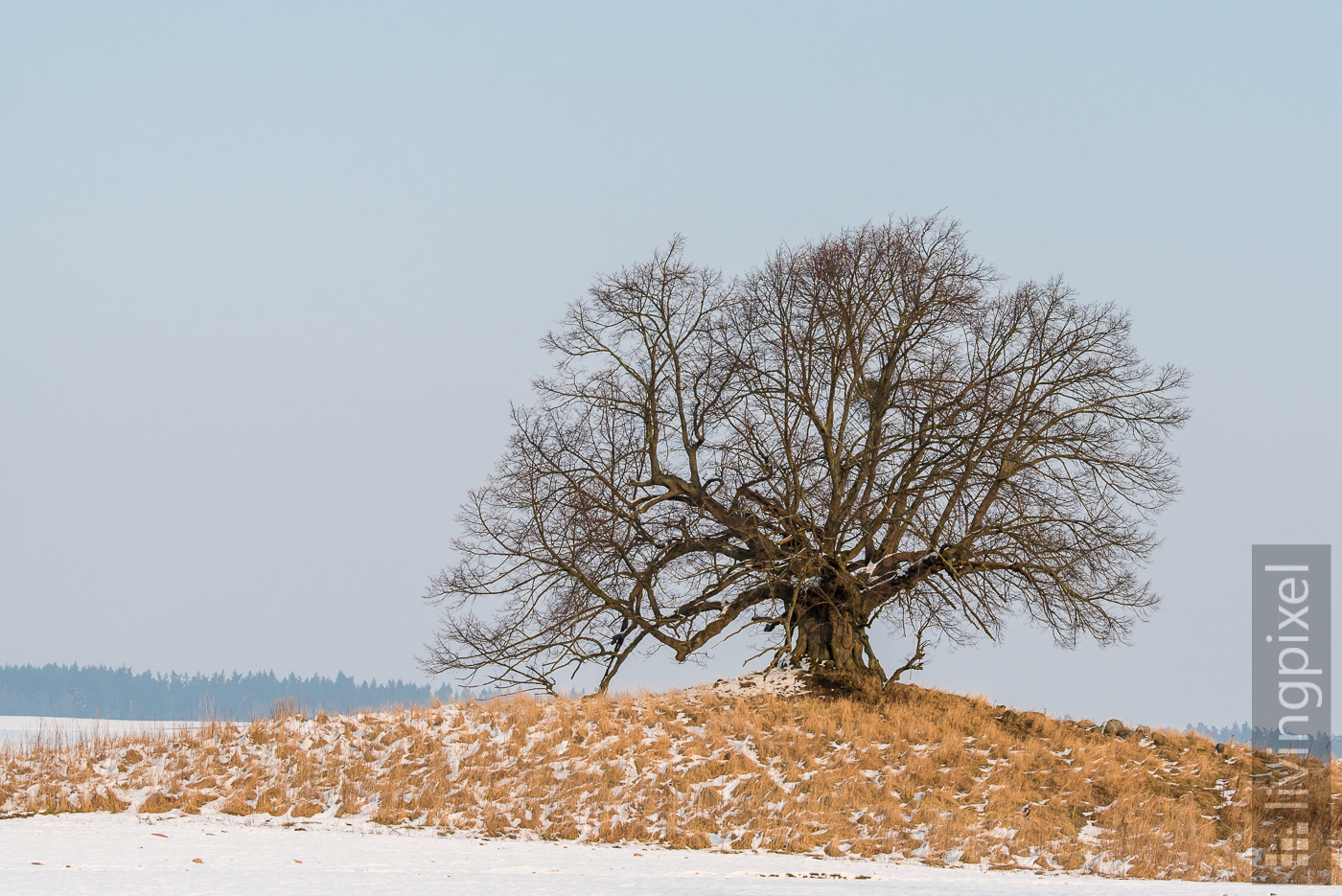 Linden tree in winter season