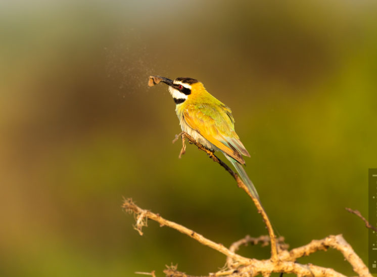 Weißkehl-Spint (White throated bee eater)