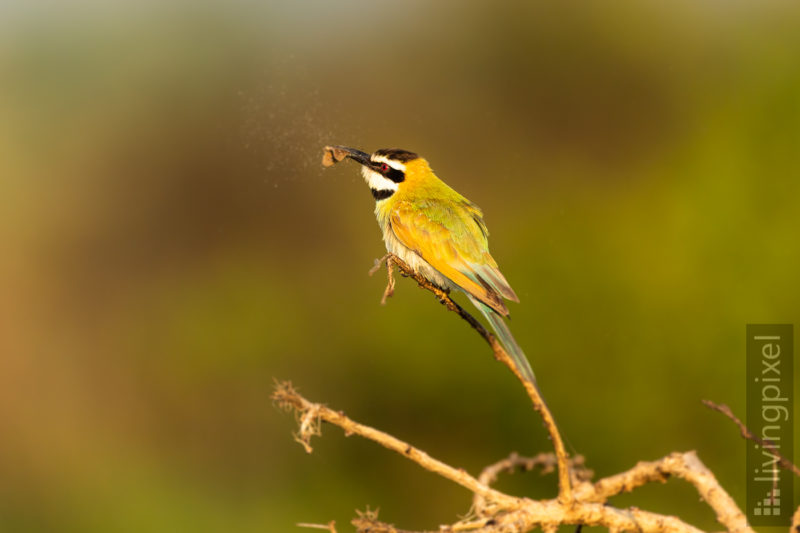 Weißkehlspint (White throated bee eater)