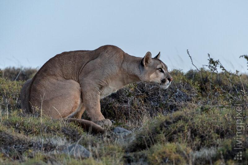 Puma (Cougar)