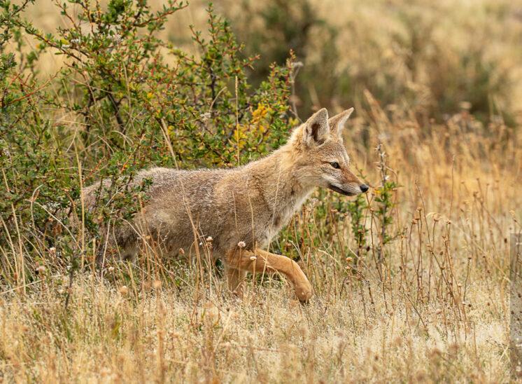 Rotfuchs (Red fox)