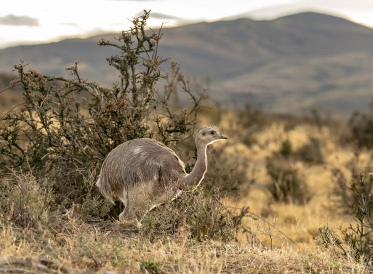 Nandu (Greater rhea)