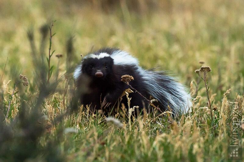 Patagonischer Skunk (Humboldt's hog-nosed skunk)