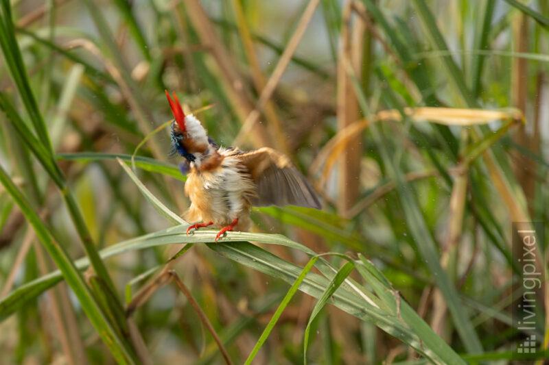 Malachiteisvogel (Malachite kingfisher)