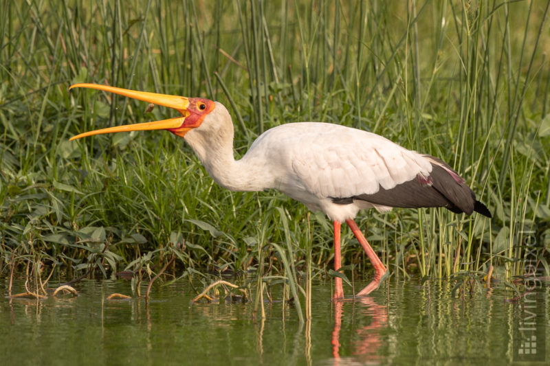 Nimmersatt (Yellow-billed stork)