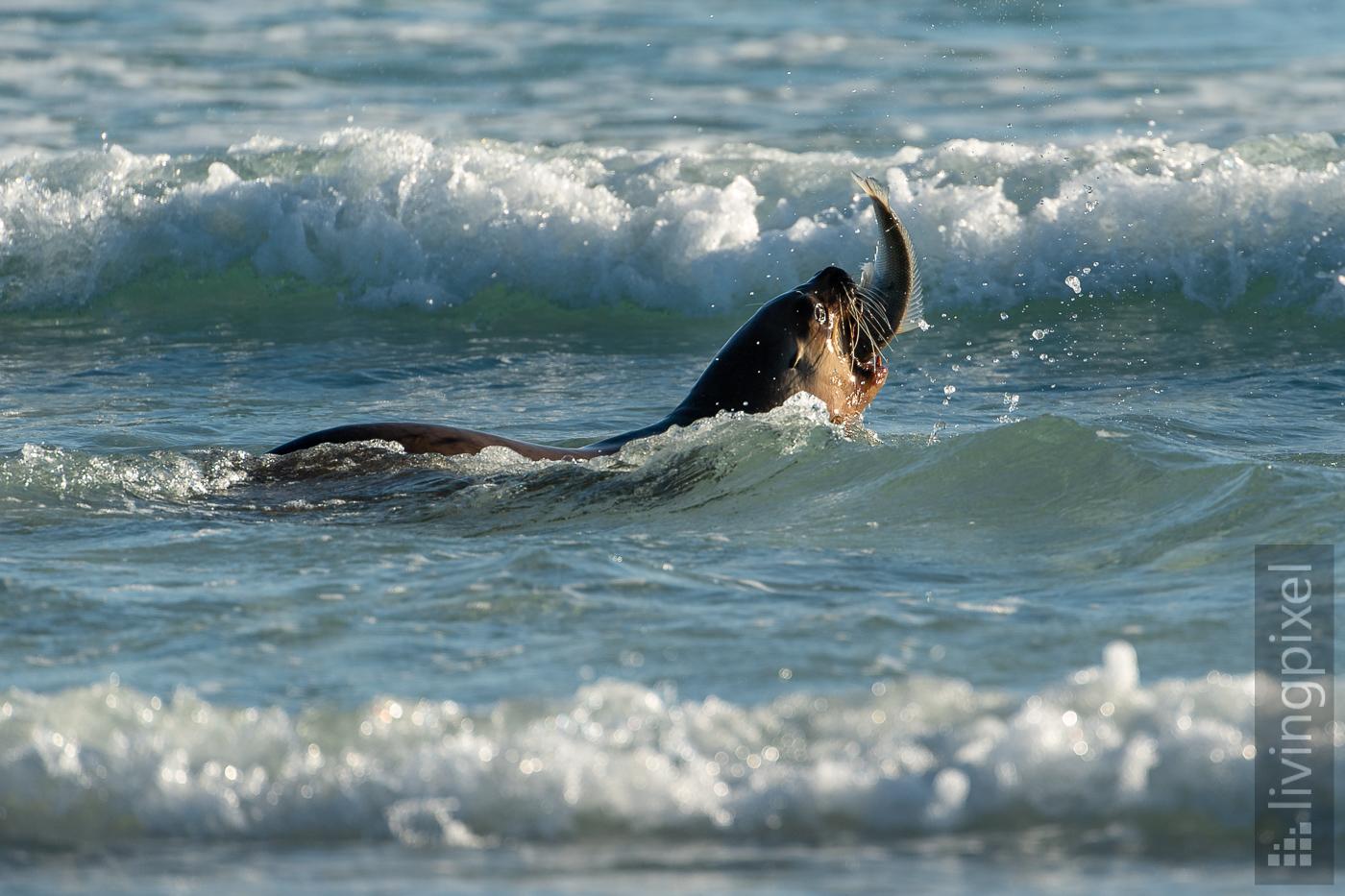 Seelöwe nach erfolgreicher Jagd