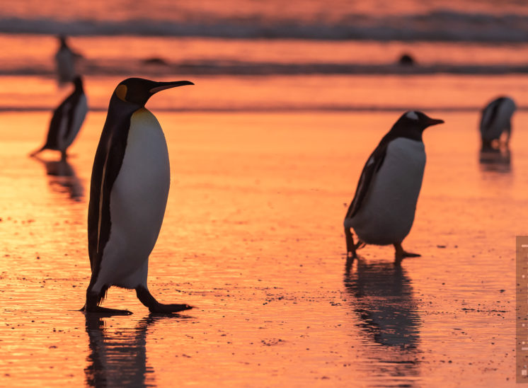 Pinguine im Morgenlicht