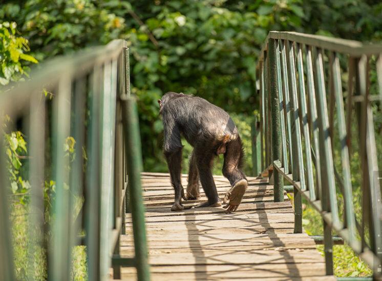 Schimpanse (Chimpanzee)