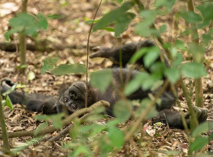 Schimpansen - Siesta