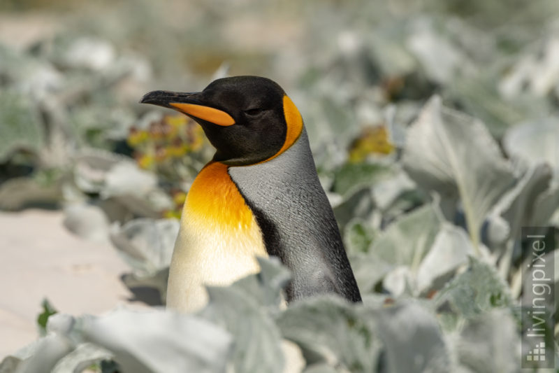 Königspinguin (King penguin)