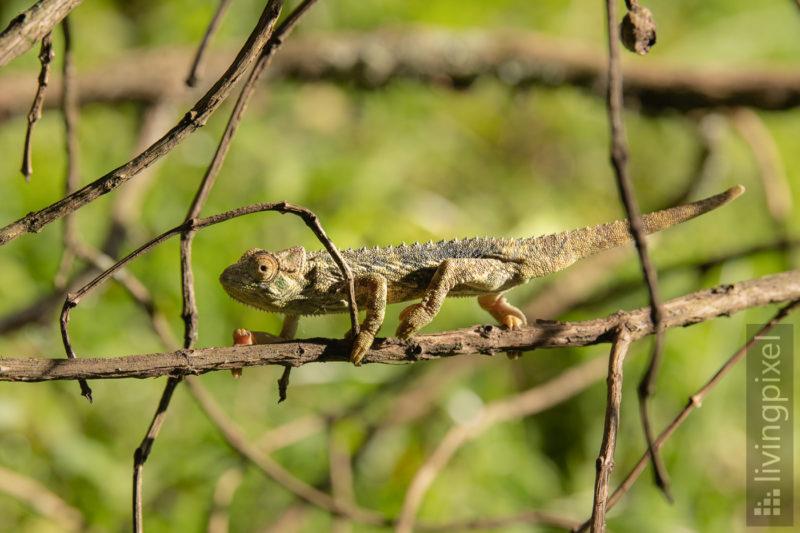 Chamäleon (Chameleon)