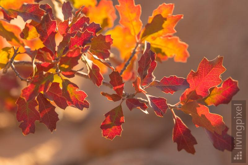 Herbstfarben in den Yellow Rocks