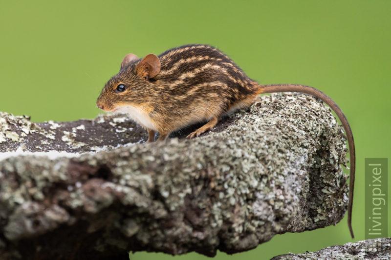 Streifenmaus (Striped mouse)