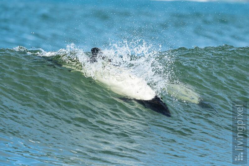 Commerson-Delfin (Commerson's dolphin)