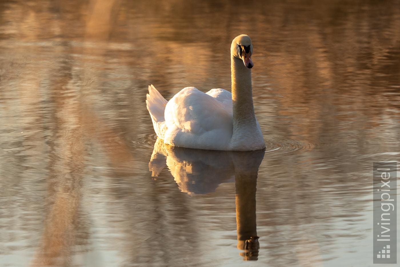 Höckerschwan (Mute swan)