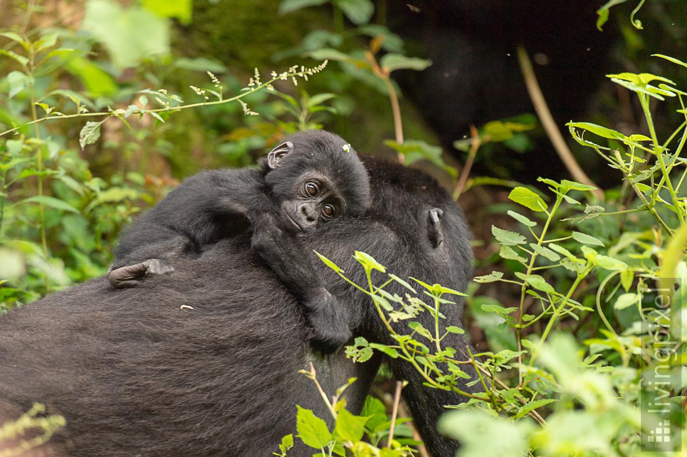 Berggorilla (Mountain gorilla)