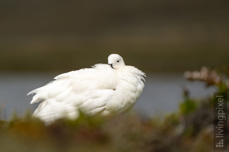 Tanggans (Kelp goose)