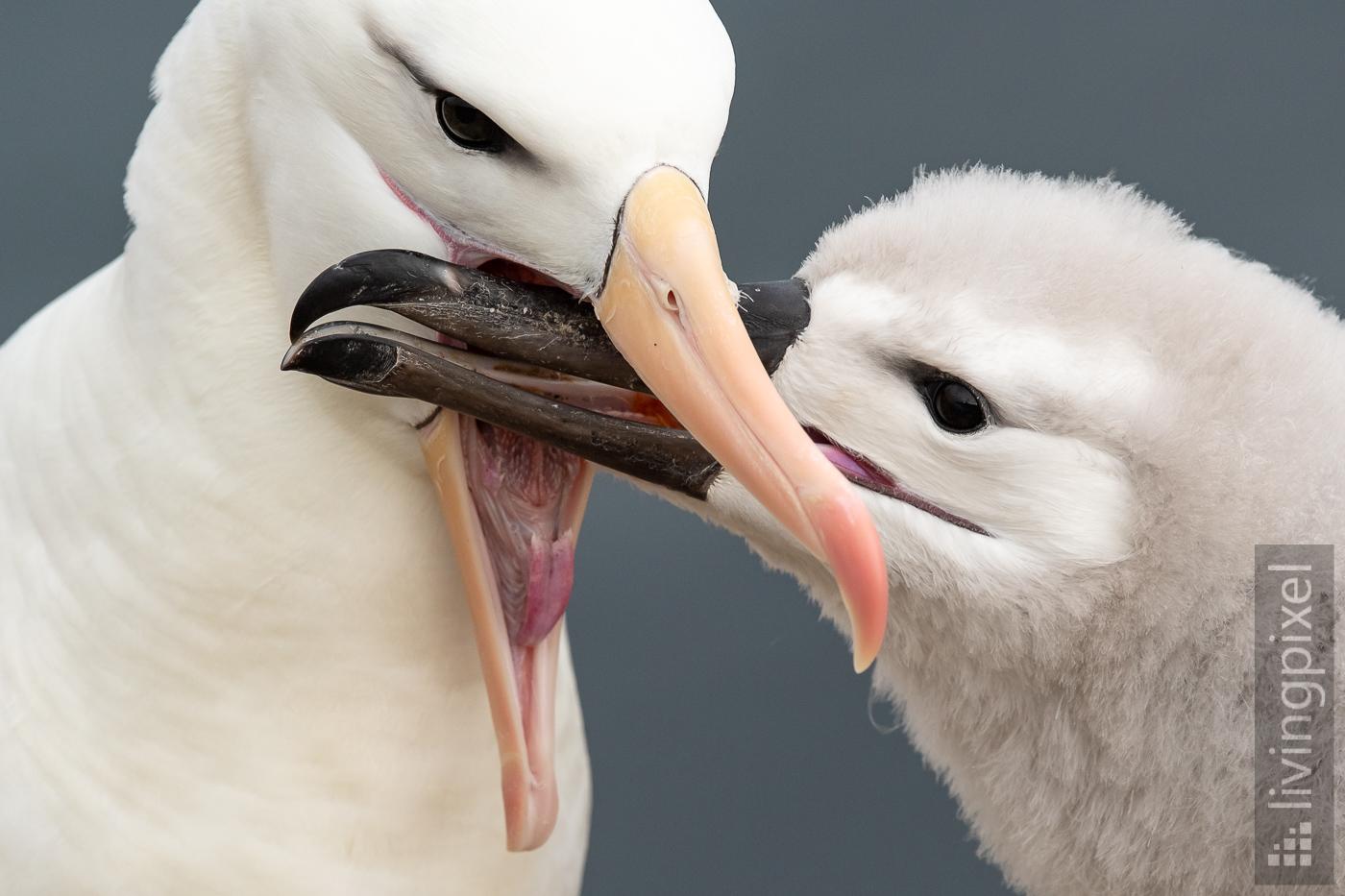 Schwarzbrauen-Albatros Fütterung