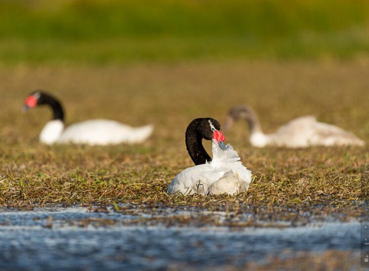 Schwarzhalsschwan (Black necked swan)