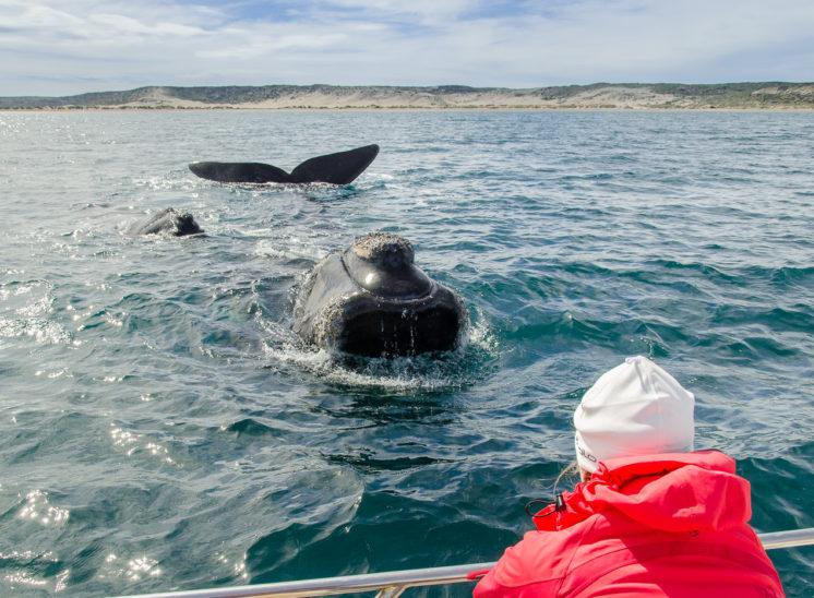 Südlicher Glattwal, Mutter und Kalb