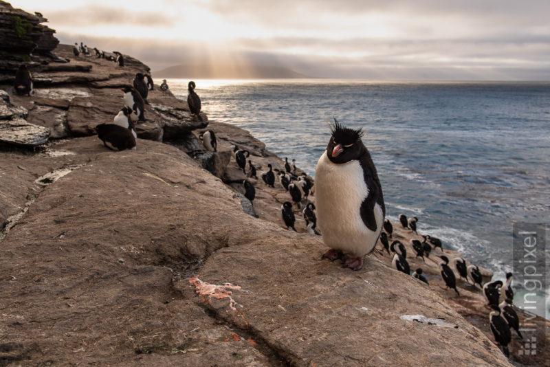Felsenpinguin (Southern rockhopper penguin)