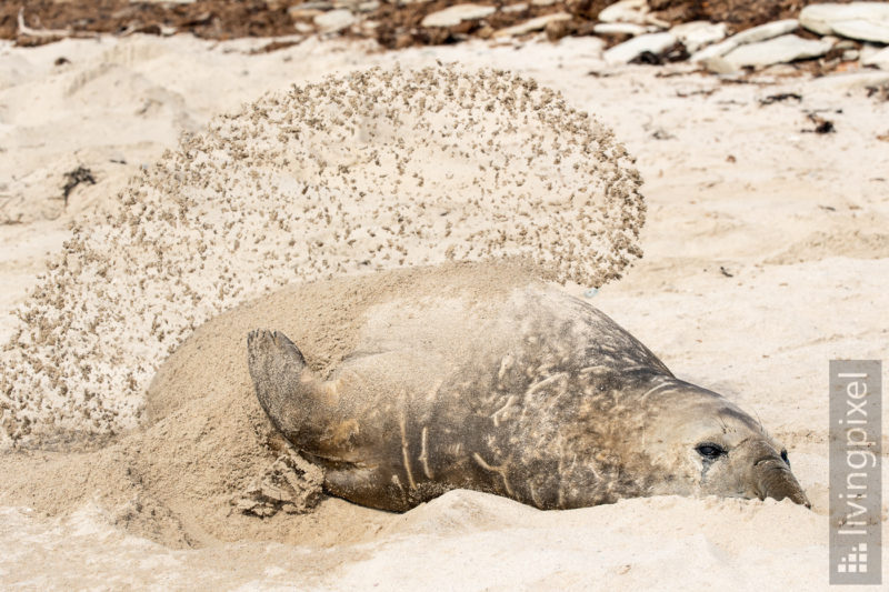 See-Elefant (Elephant seal)