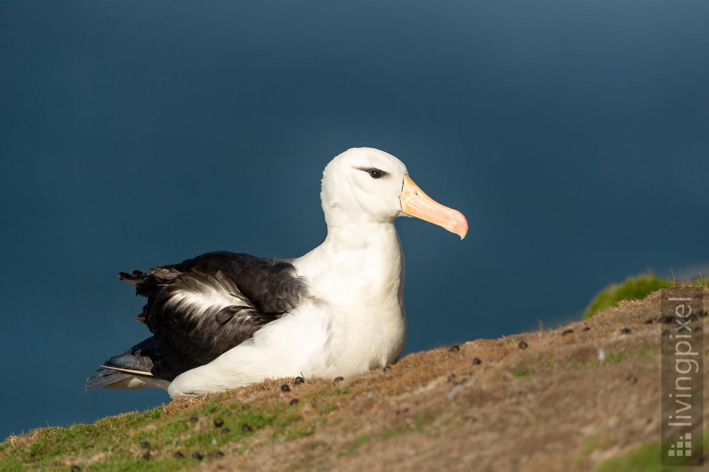 Schwarzbrauen-Albatros