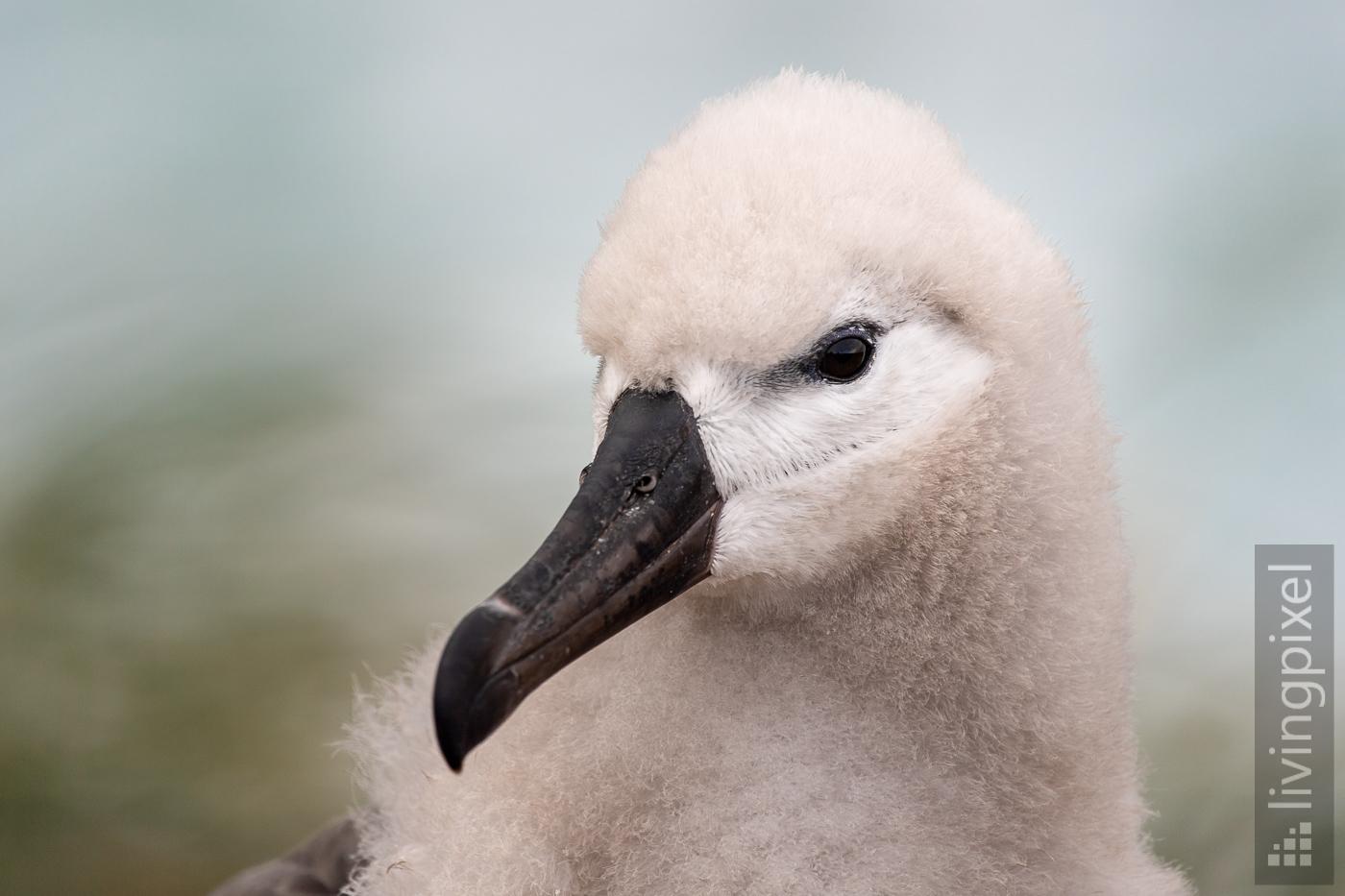 Schwarzbrauen-Albatros (Jungtier)