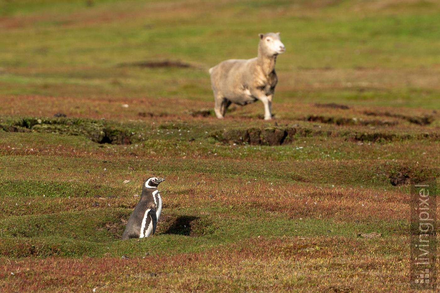 Magellan-Pinguin an Schaf