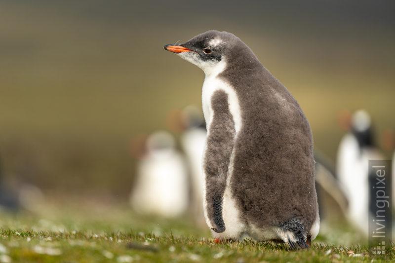 Eselspinguin (Gentoo penguin)