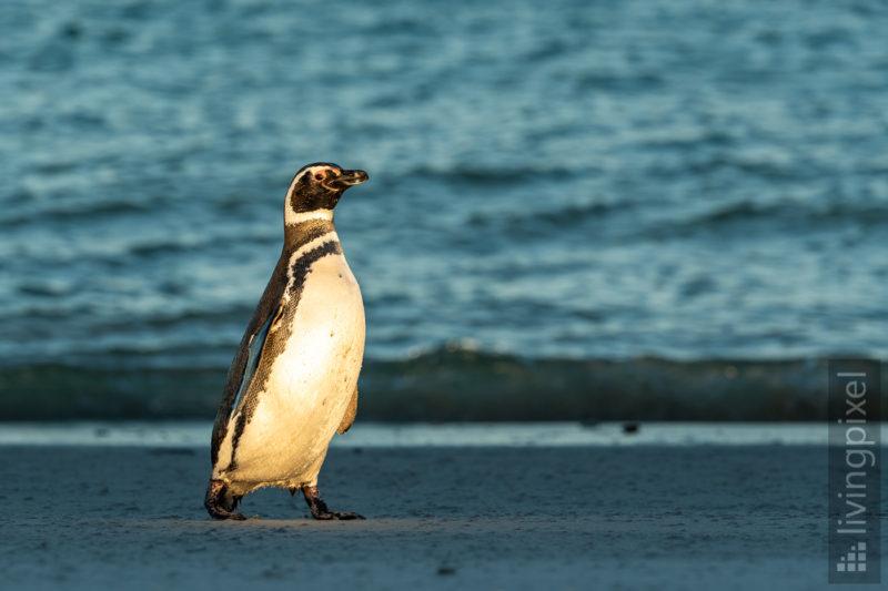 Magellan-Pinguin (Magellanic penguin)