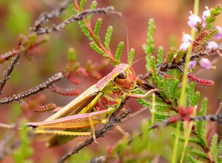 Sumpfschrecke - Weibchen mit roter Tönung