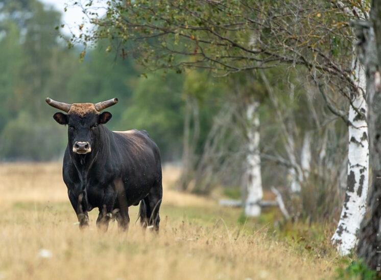 Heckrind (Heck cattle)