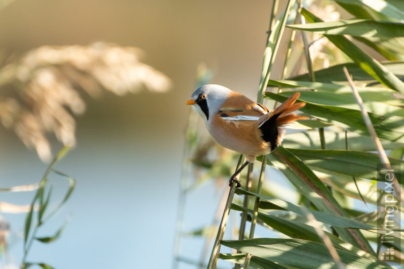 Bartmeise (Bearded reedling)