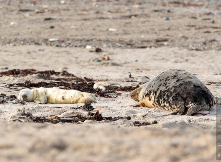 Kegelrobbe (Grey seal)