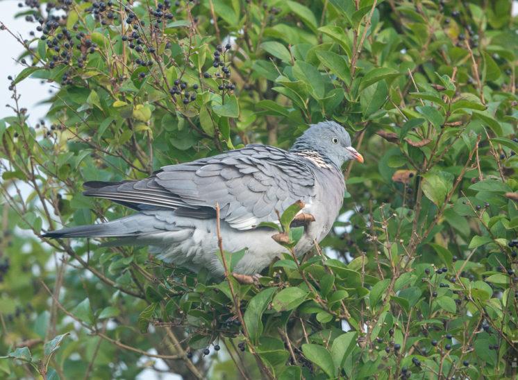 Ringeltaube (Common wood pigeon)