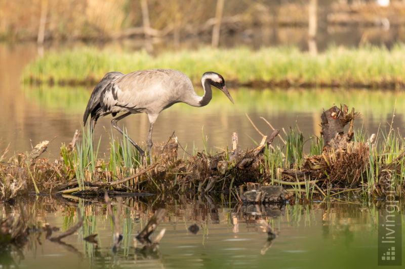 Kranich (Common crane)