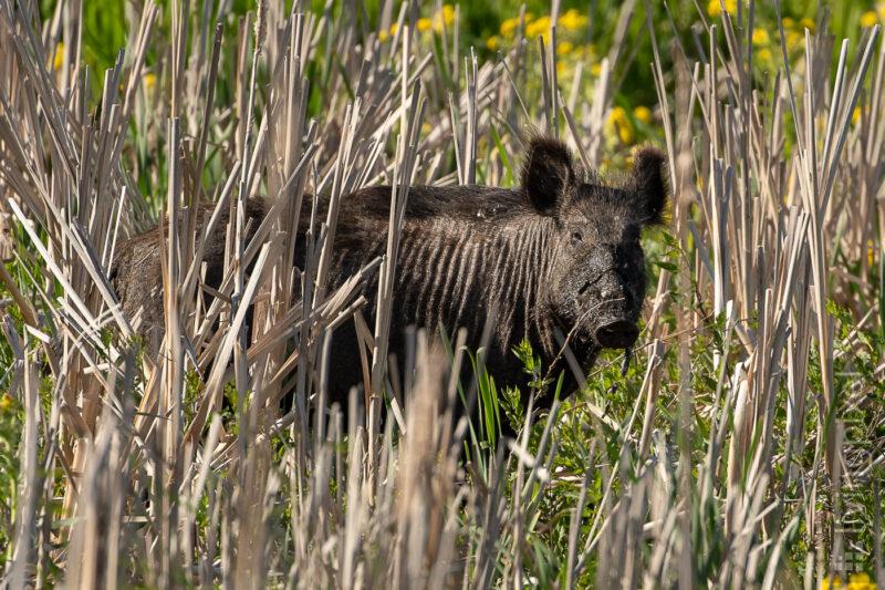 Wildschwein (Wild pig)