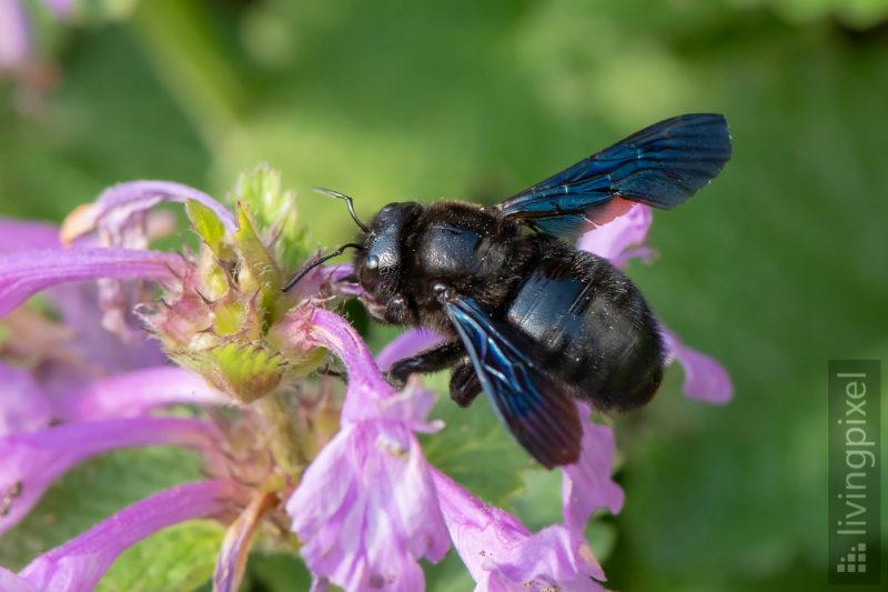 Große Blaue Holzbiene (Violet Carpenter Bee)