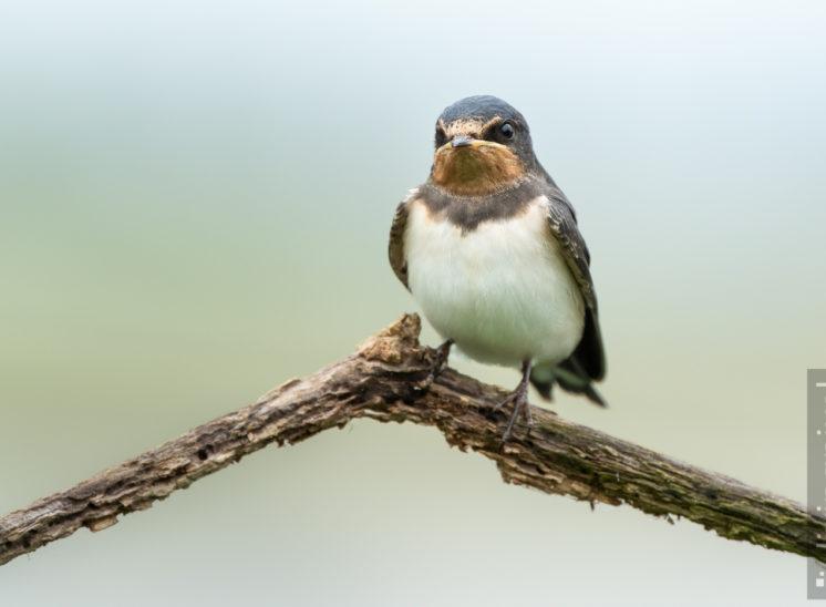 Rauchschwalbe (Barn swallow)