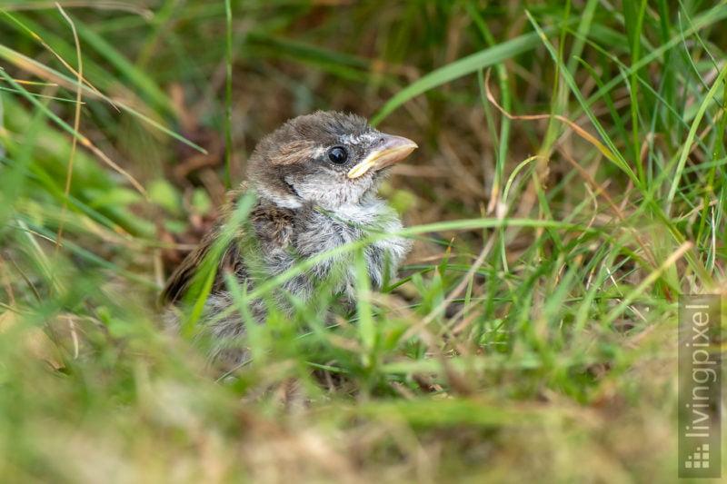 Spatz (Sparrow)